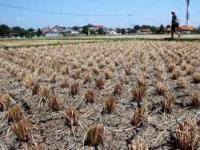 Dampak Musim Kemarau Bagi Para Petani