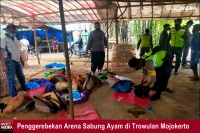 Meresahkan Warga, Arena Sabung Ayam di Trowulan Digrebek